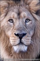 Asiatic Lion Asoka 0698n by mym8rick