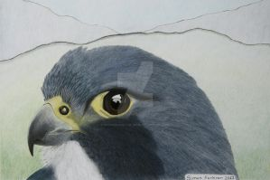 Peregrine Portrait by Worker-for-the-Wind
