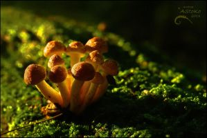 Orange Mushrooms 1 by AStoKo