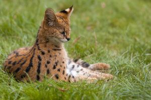 Tiny Serval by ludovicjamet