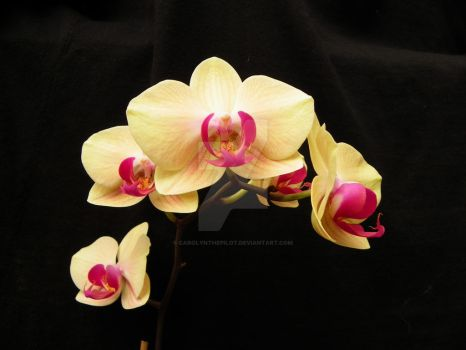 ORCHIDS OF IVORY by carolynthepilot