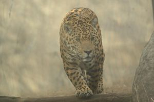 Jaguar 1 by Lakela