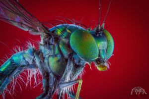 Green Long Legged Fly by Anrico