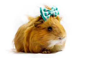 Cashew the Guinea Pig by taintedhybrid