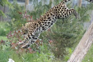 Amur Leopard 15 by lucky128stocks