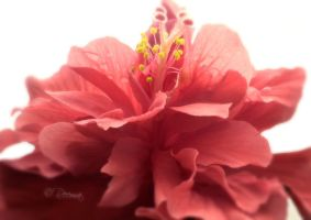 The Hibiscus by shirly90