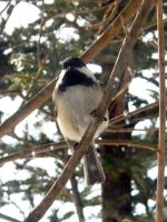 Chickadee Stock1 by D-is-for-Duck