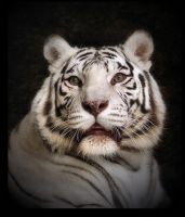 White tiger by Lilia73