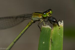 Green damselfly with prey by CyclicalCore