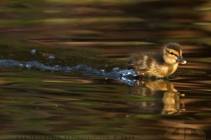 DuckRace III by thrumyeye
