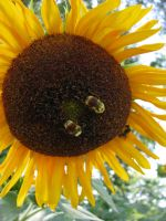2 Bees on a Sunflower by Cyberpriest