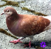 Feral Pigeon 015 (09.06.13) by LacedShadowDiamond