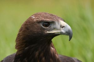 Golden Eagle by mansaards