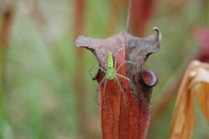 Green Lynx Spider Stalking Scarlet Pitcher by Forest-Imp