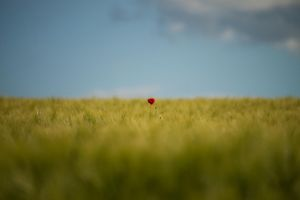 one poppy by Cassini246