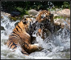Tiger Infight by AF--Photography