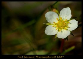 Strawberry Bloom by KSPhotographic