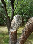 Barred Owl by Air-Hammer