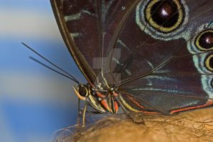 Owl Butterfly Macro by carterr