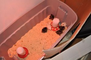 chick diaries - week three: new digs by DragonusPrime