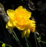 Yellow narcissus (Rip Van Winkle) by FuriarossaAndMimma