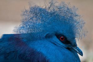 Blue Crowned Pigeon by robbobert