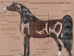 Conformation of the Arabian Horse- Part One by LucasBinx