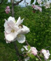 flowers - apple blossom and bee by deveciufuk