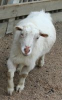 Gage Park Zoo 59 - Goat by Falln-Stock
