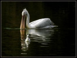 Pelican and seagull by kanes