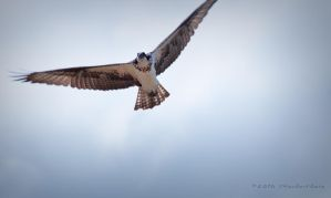 Osprey, the feathered kind by jdmimages
