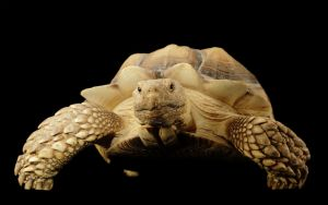 Sulcata Tortoise by stompy05
