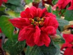 Poinsettia by Lily-Berry