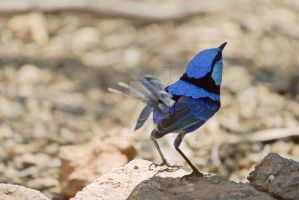 Splendid Fairy Wren by ribbonworm