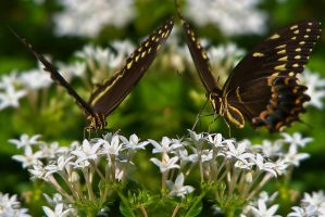20070921-0130 Butterflies by Yellowstoned