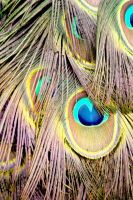 Peacock Tail Feather Eye Watercolour by aegiandyad