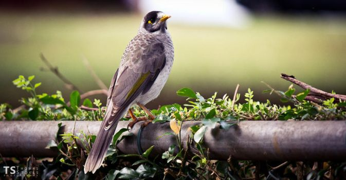 Indian Myna 2 by Tom-Stokes