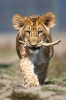Fufik with a stick (Panthera leo) by AlesGola