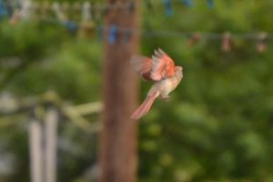 Female Cardinal 4 by Noble-Kenshi