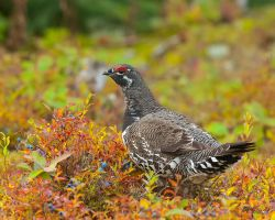 Spruce Grouse in Blueberries by Les-Piccolo