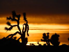Joshua Tree Christmas 1 by Geotripper