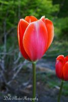 Tulip by DalePhotography