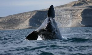 Southern Right Whale by jaeischung