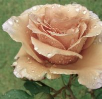 Vintage Rose by MissSpocks