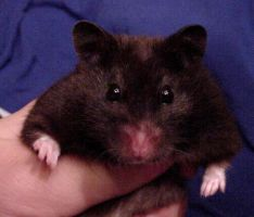 Blackberry, Syrian Hamster by imissucupcake