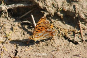 Kleine Perlmutterfalter/Queen of Spain fritillary by bluesgrass