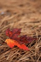 Red Leaves by plbeaulieu