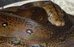 Golden Child Reticulated Python by mant01