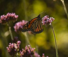 Monarch - 1 - 2013 by toshema