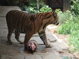 Tiger popsicle by photographyflower